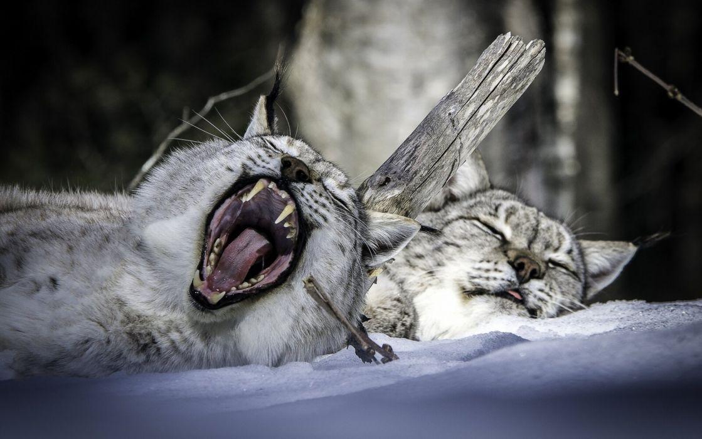 Lynx Two Snow Sleep Animals wallpaper