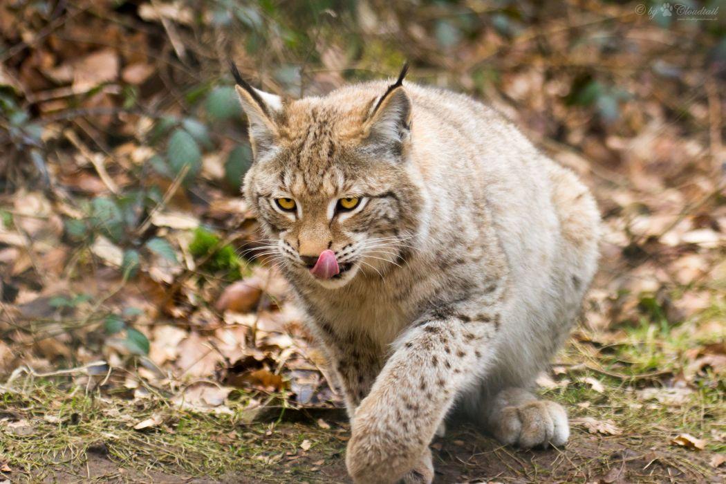 Lynx Animals wallpaper