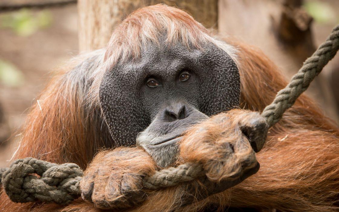Monkey Closeup Orangutan Animals wallpaper