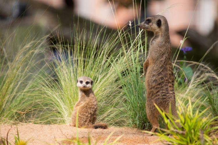 Meerkat Two Animals wallpaper