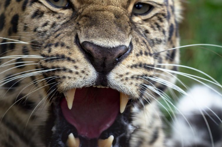 Sea Leopards Teeth Whiskers Glance Roar Animals wallpaper