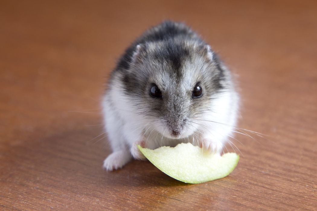 Rodents Hamster Closeup Animals wallpaper