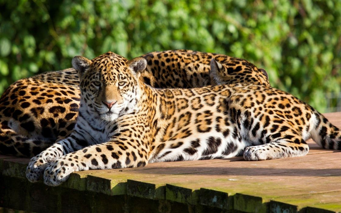 beauty cute amazing amazing Leopard animal wallpaper