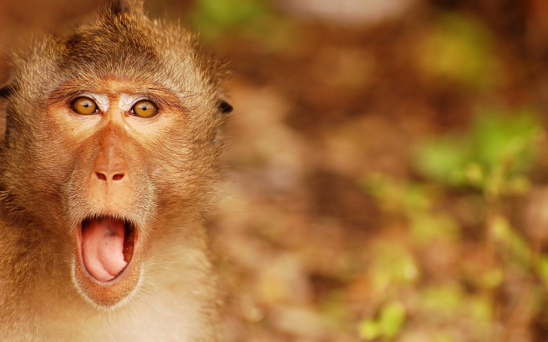 beauty cute amazing animal Angry Monkey wallpaper