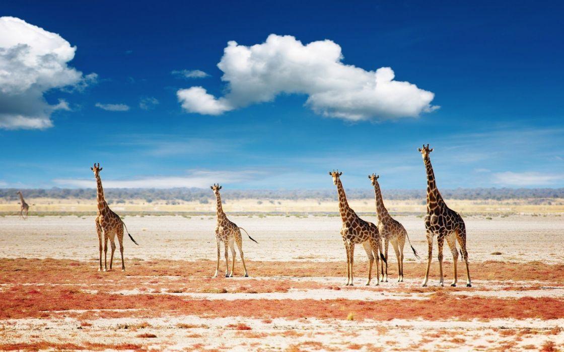 beauty cute amazing animal Animal Giraffe Family cute wallpaper