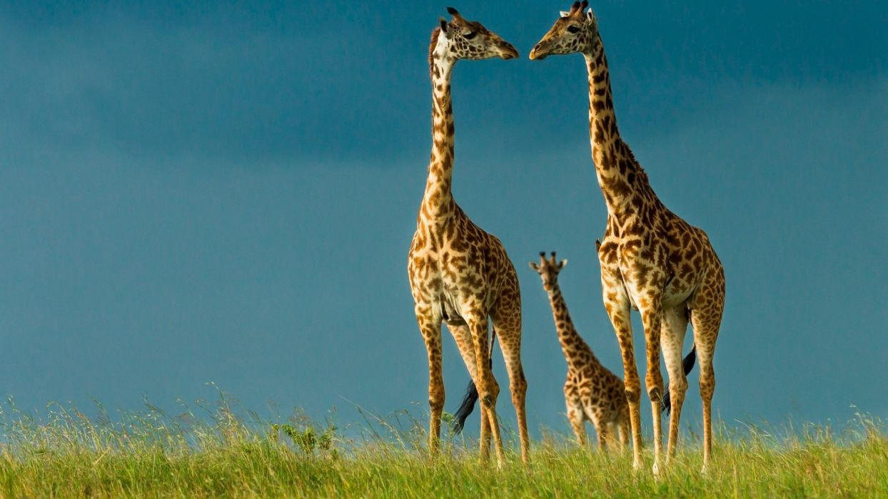 beauty cute amazing animal Animal Giraffe Family wallpaper