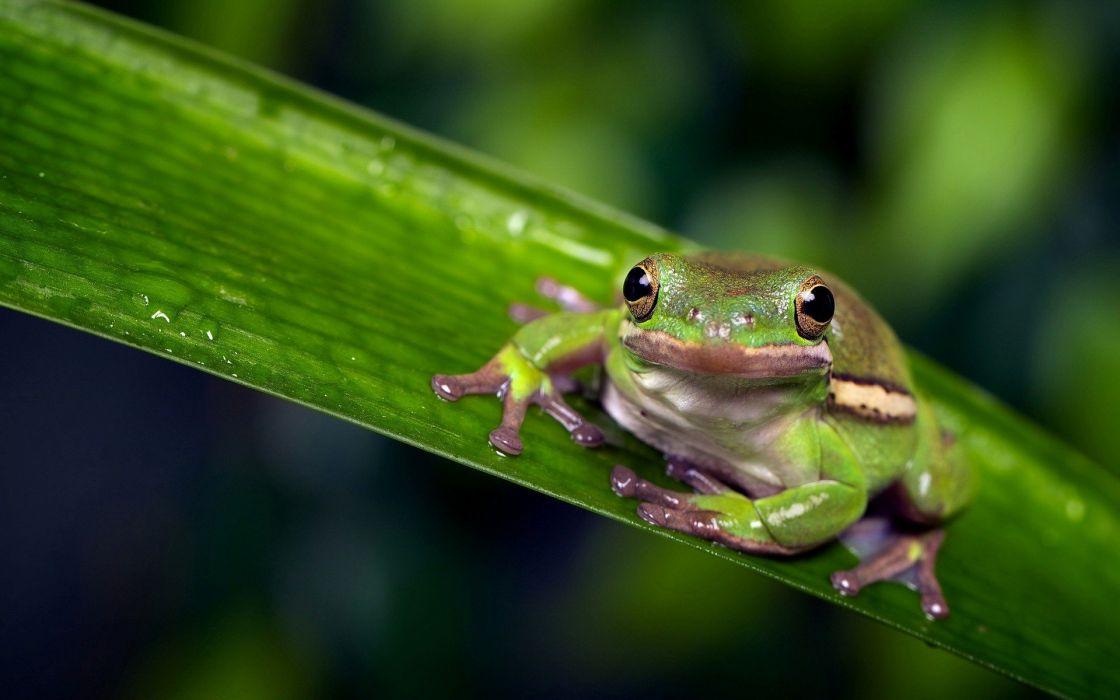 beauty cute amazing animal Animal Green Frog on Green Leaf wallpaper