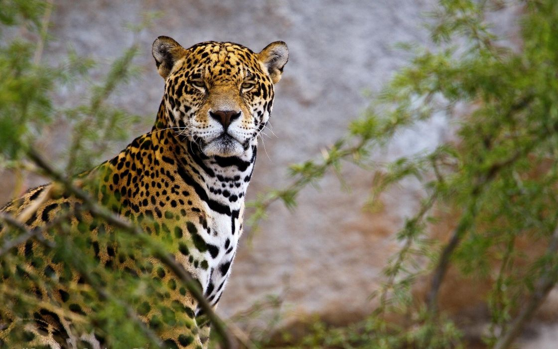 beauty cute amazing animal Asian Leopard Animal wallpaper