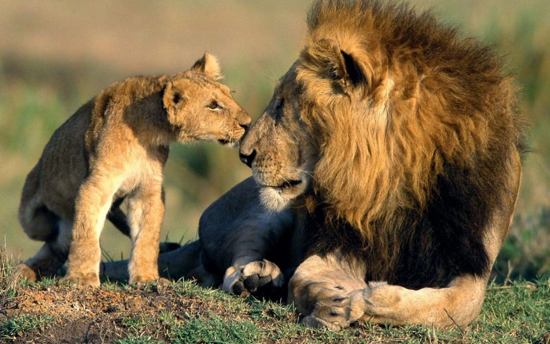 beauty cute amazing animal Asiatic Lion With Baby Cub wallpaper
