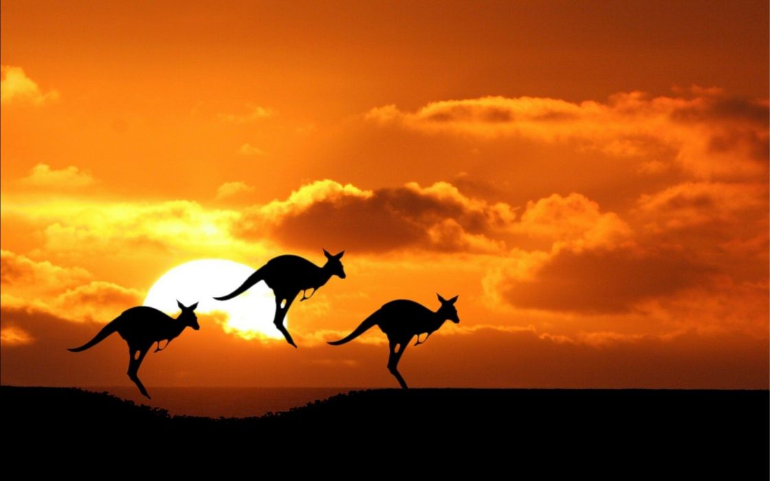 beauty cute amazing animal Australian Kangaroo During Sunset wallpaper