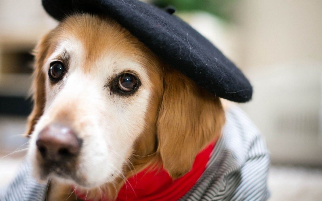 beauty cute amazing animal Beautiful Dog with Cap wallpaper