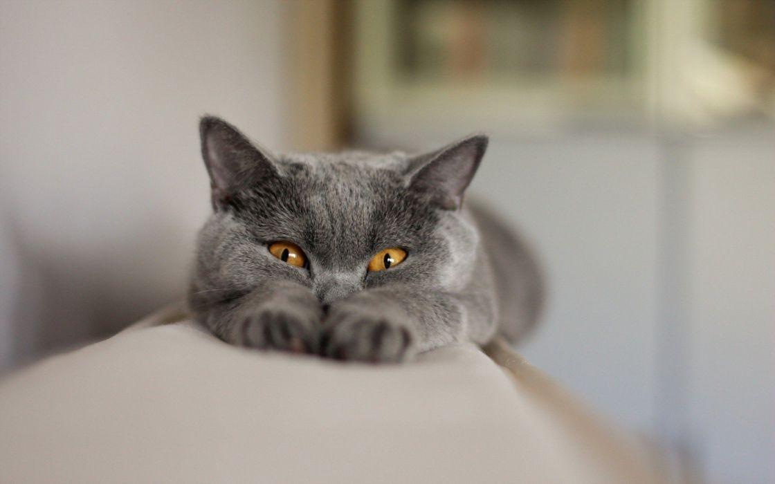 beauty cute amazing animal Beautiful Gray Cat with Yellow Eye wallpaper