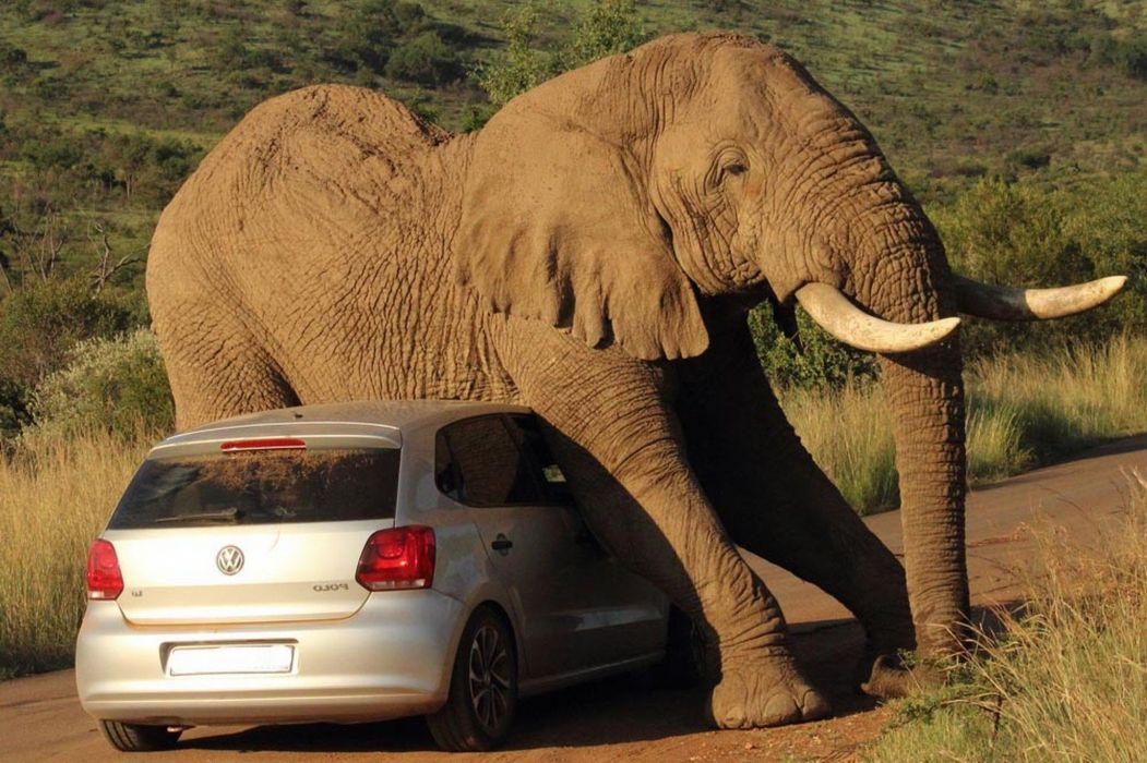 beauty cute amazing animal Big Elephant on Car wallpaper