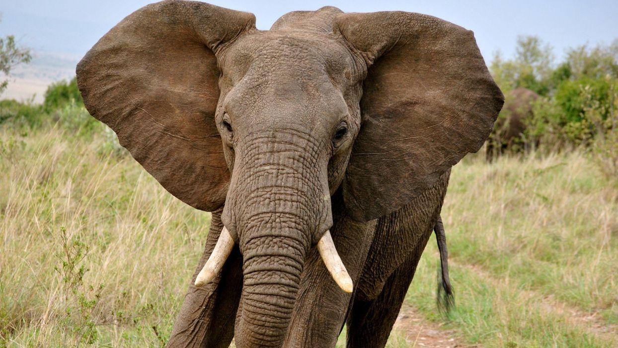 beauty cute amazing animal Big Elephant with Big Ear wallpaper