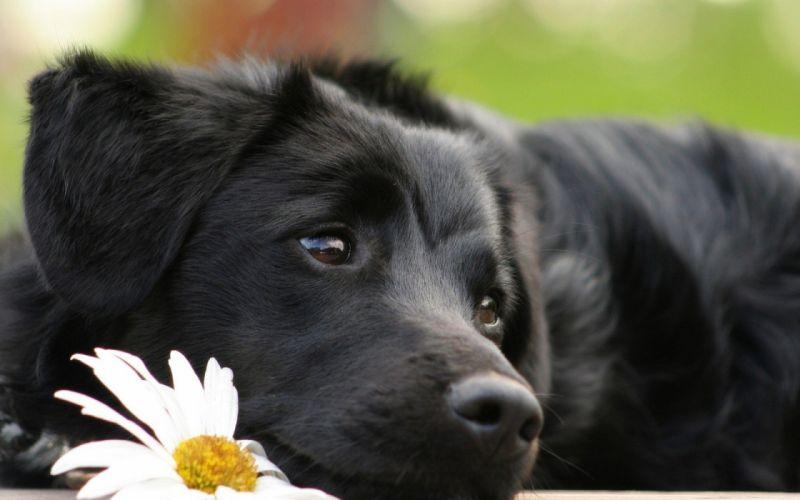 beauty cute amazing animal Black Dog Animal wallpaper