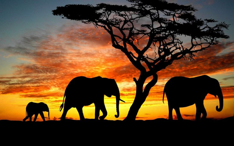 beauty cute amazing animal Elephant Family During Sunset wallpaper