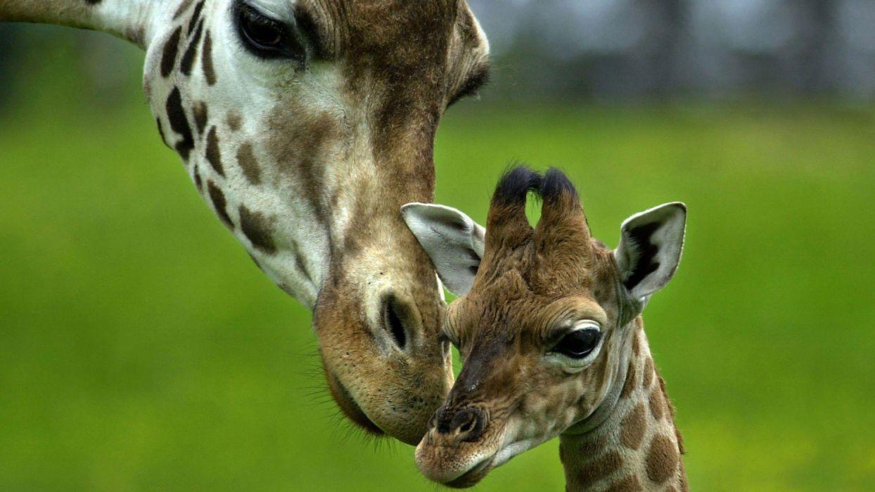beauty cute amazing animal Giraffe Baby wallpaper