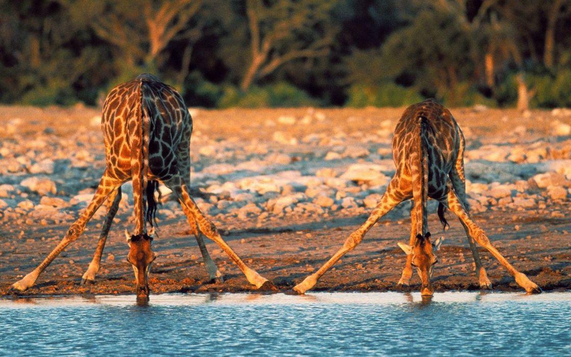 beauty cute amazing animal Giraffe Drinking Water wallpaper