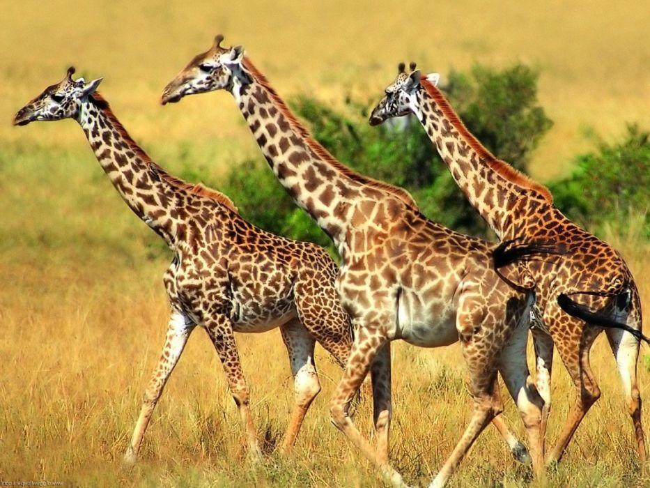 beauty cute amazing animal Giraffe in Dry Jungle wallpaper