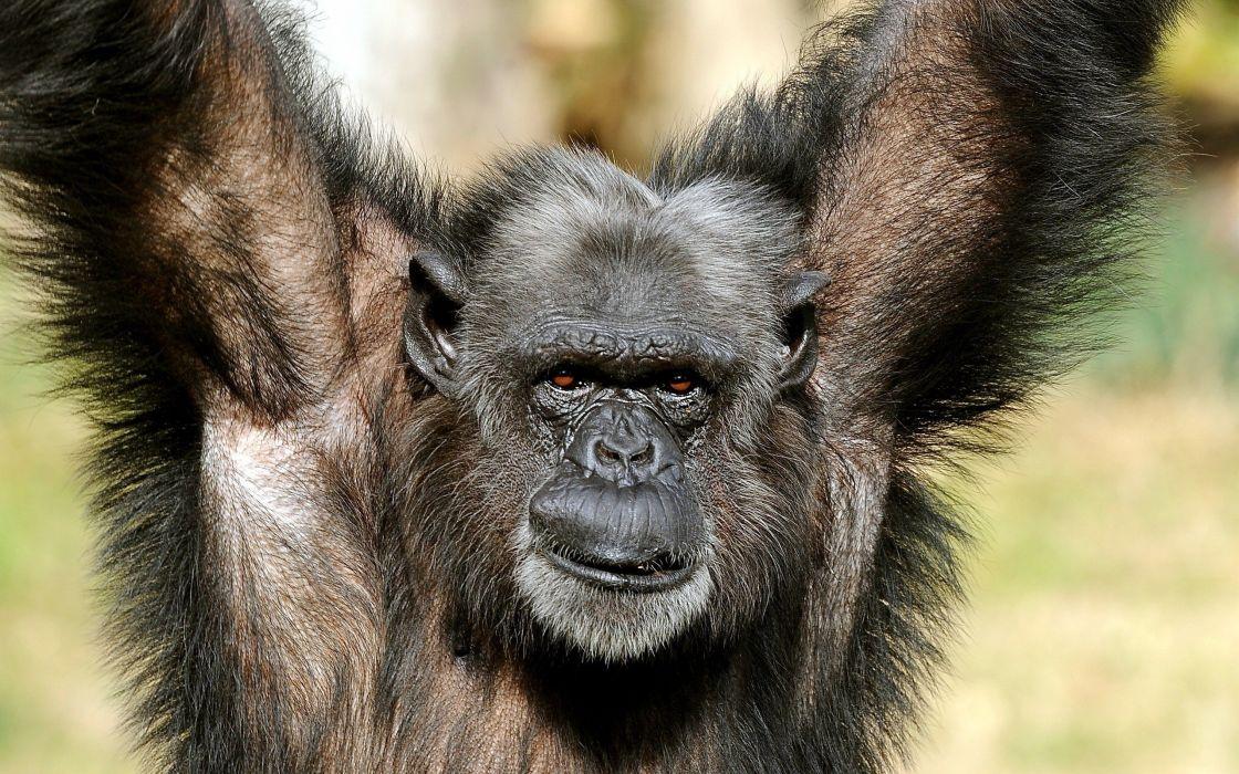 beauty cute amazing animal Gorilla Monkey wallpaper