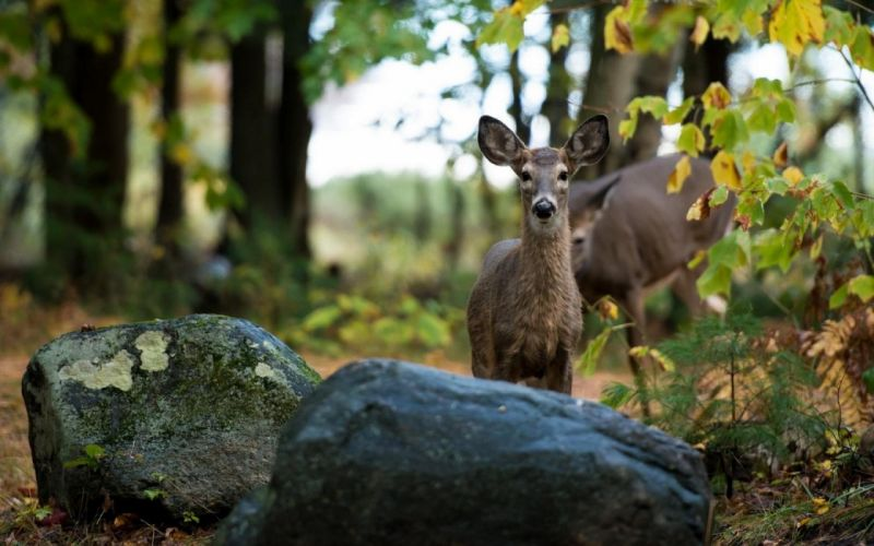 beauty cute amazing animal Gray Color Deer in Jungle wallpaper
