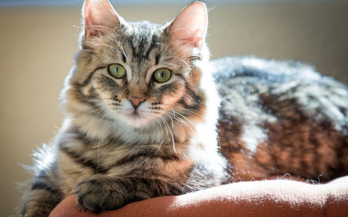 beauty cute amazing animal Indian Cat Animal wallpaper