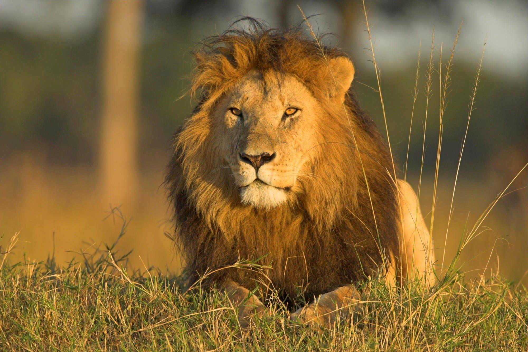 Beauty Cute Amazing Animal Lion In Jungle Wallpaper