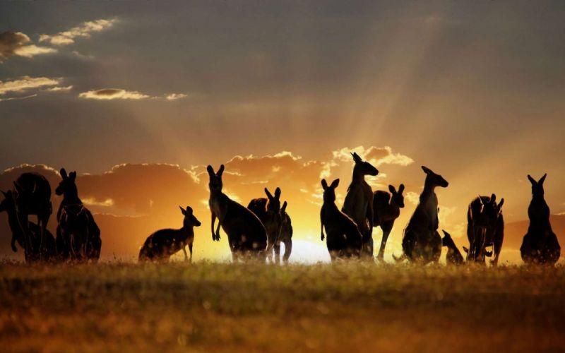 beauty cute amazing animal Many Kangaroos at Sunset Point in Australia wallpaper