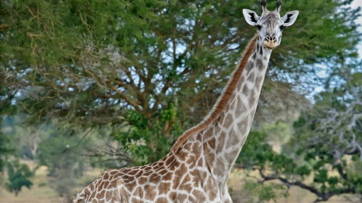 beauty cute amazing animal Masai Giraffe in Jungle wallpaper