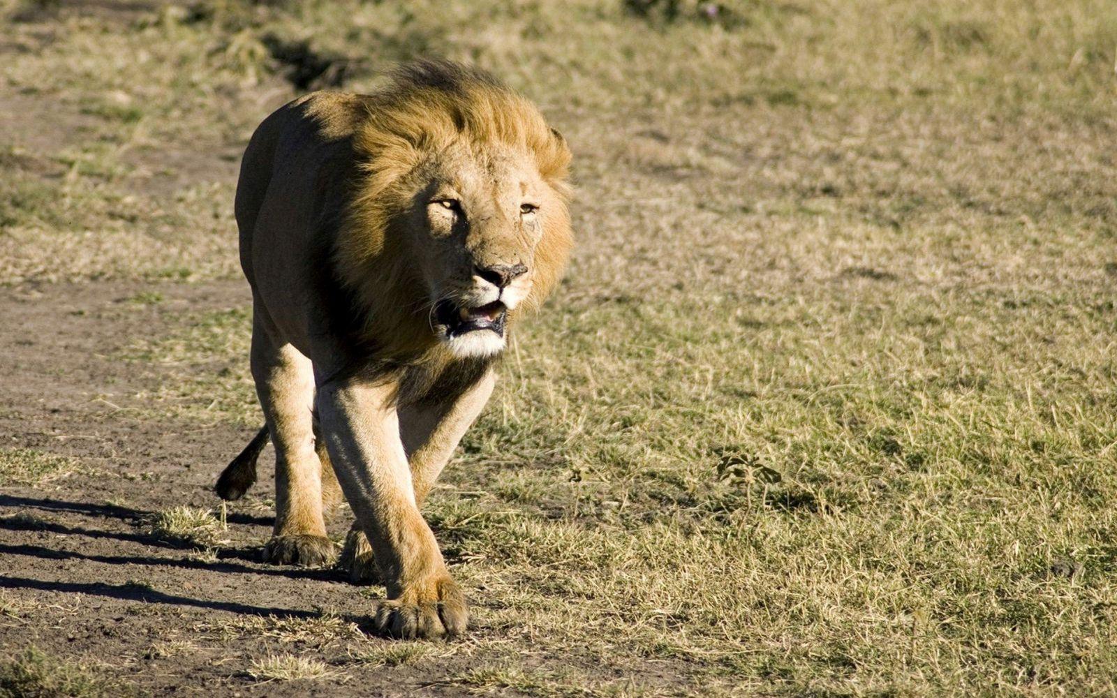 картинка шагающих львов форумы, эти