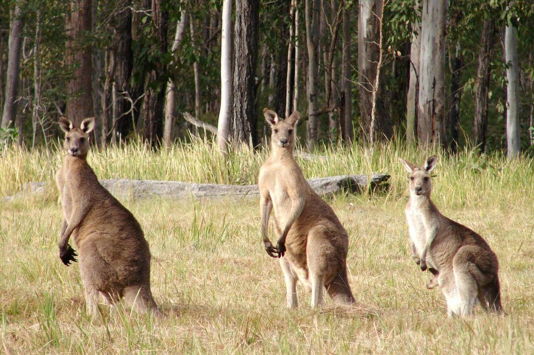 beauty cute amazing animal Nice Three Kangaroo Standing in Row wallpaper
