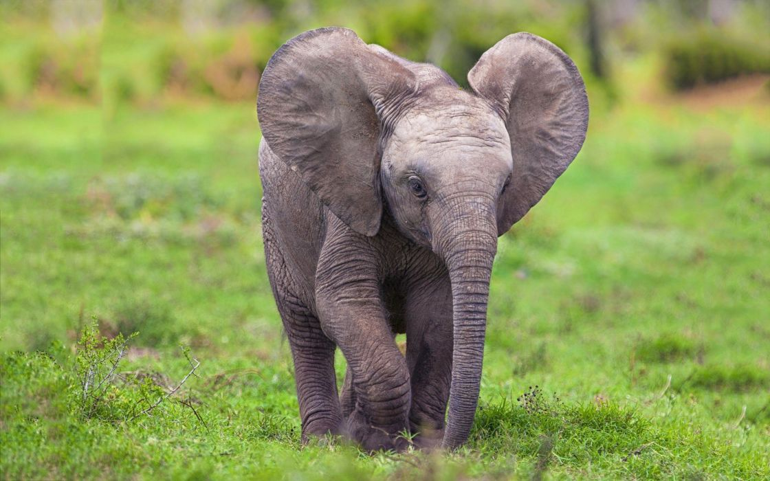 beauty cute amazing animal Popular Baby Elephant wallpaper
