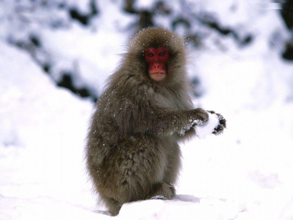 beauty cute amazing animal Roloway Monkey in Snowy Mountain wallpaper