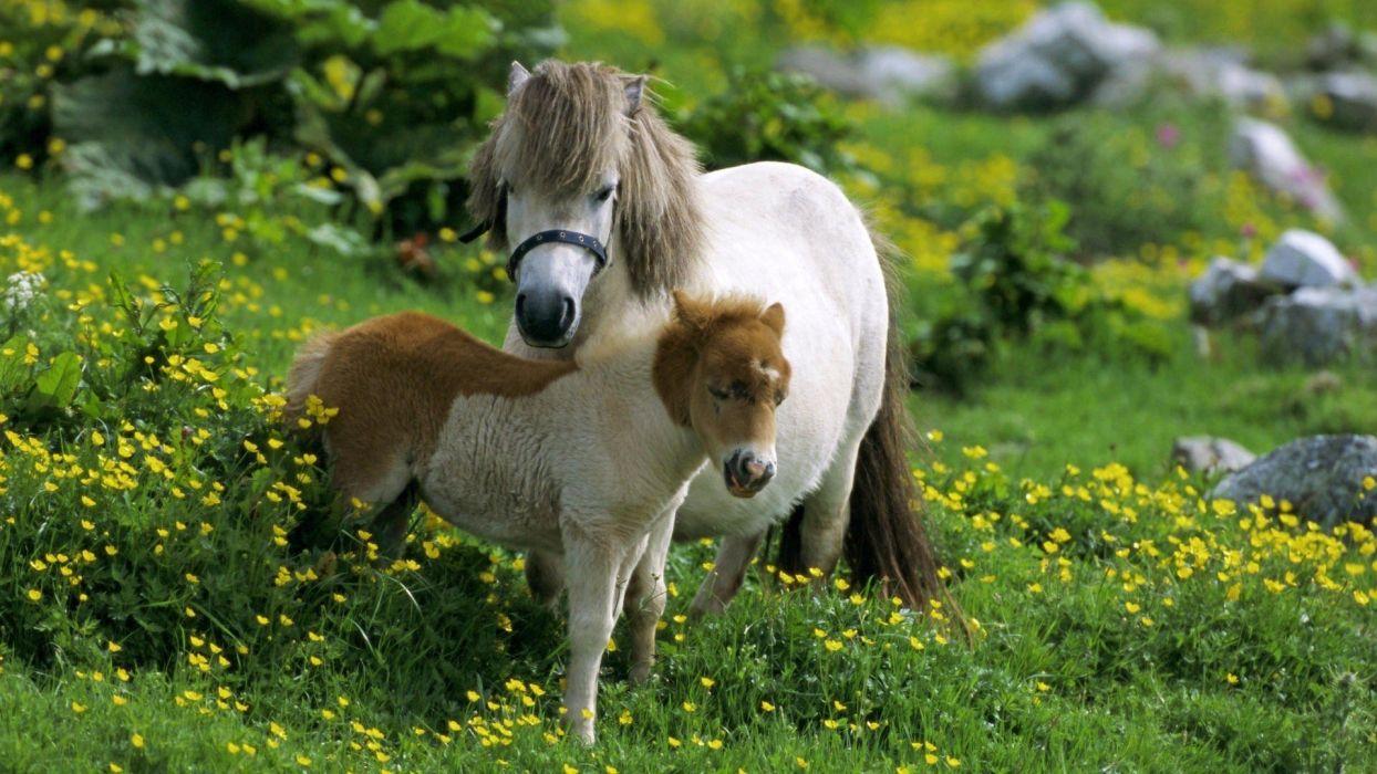 beauty cute amazing animal Shetland Pony Horse in Farm wallpaper
