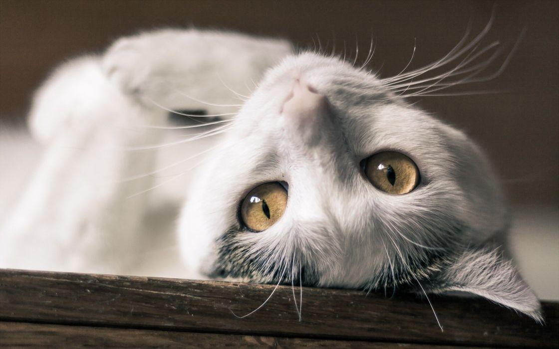 beauty cute amazing animal White Cat wallpaper