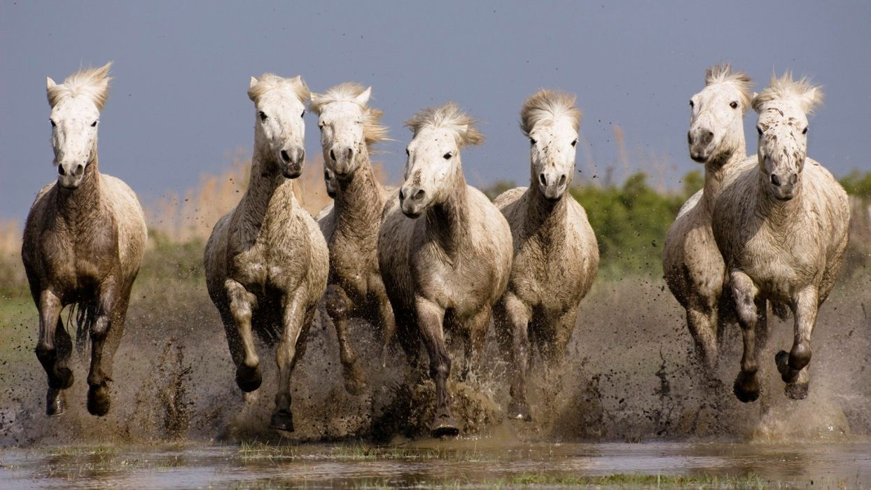 beauty cute amazing animal White Horses in Water wallpaper
