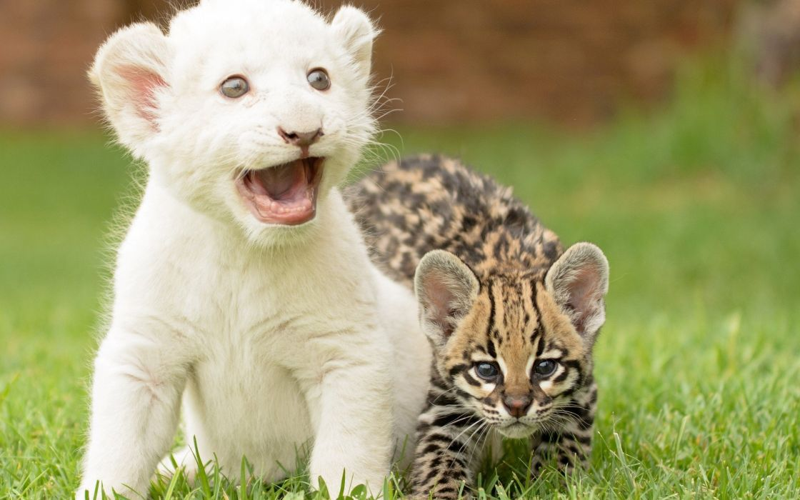 Beauty Cute Amazing Animal White Lion Cub With Cat Wallpaper