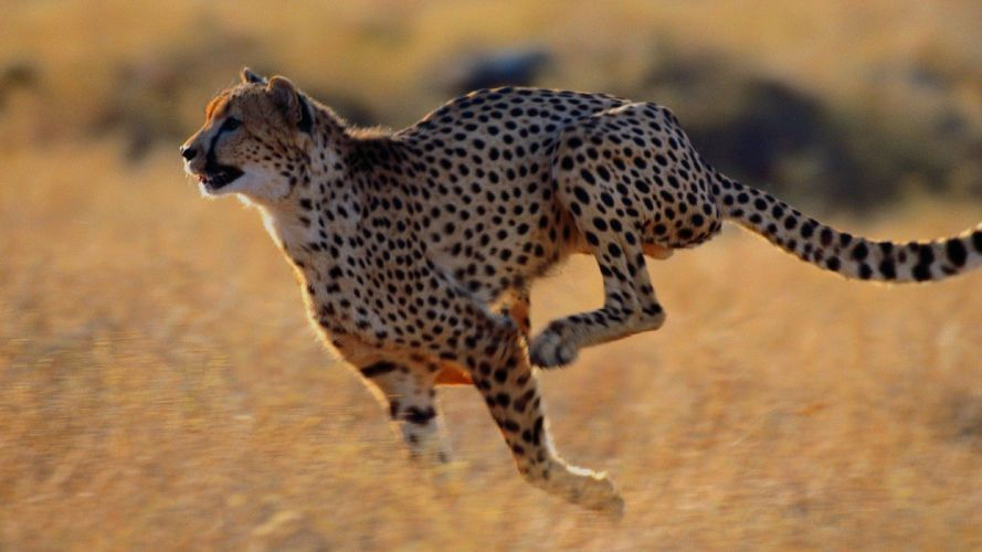 beauty cute amazing animal Wild Animal Cheetah Running in Jungle wallpaper