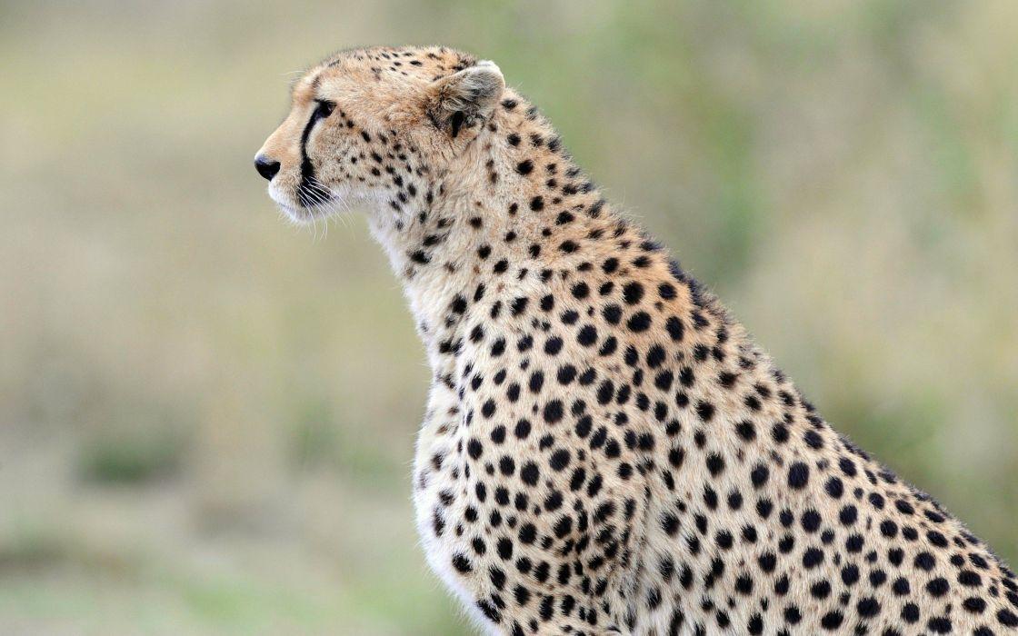 beauty cute amazing animal Wild Cheetah Anima wallpaper