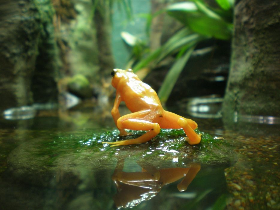 beauty cute amazing animal Yellow Frog in Water wallpaper