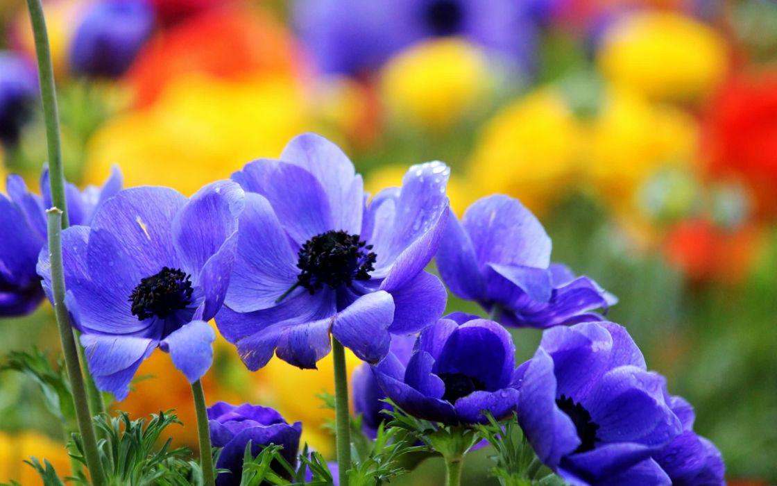 flores azules jardin naturaleza wallpaper
