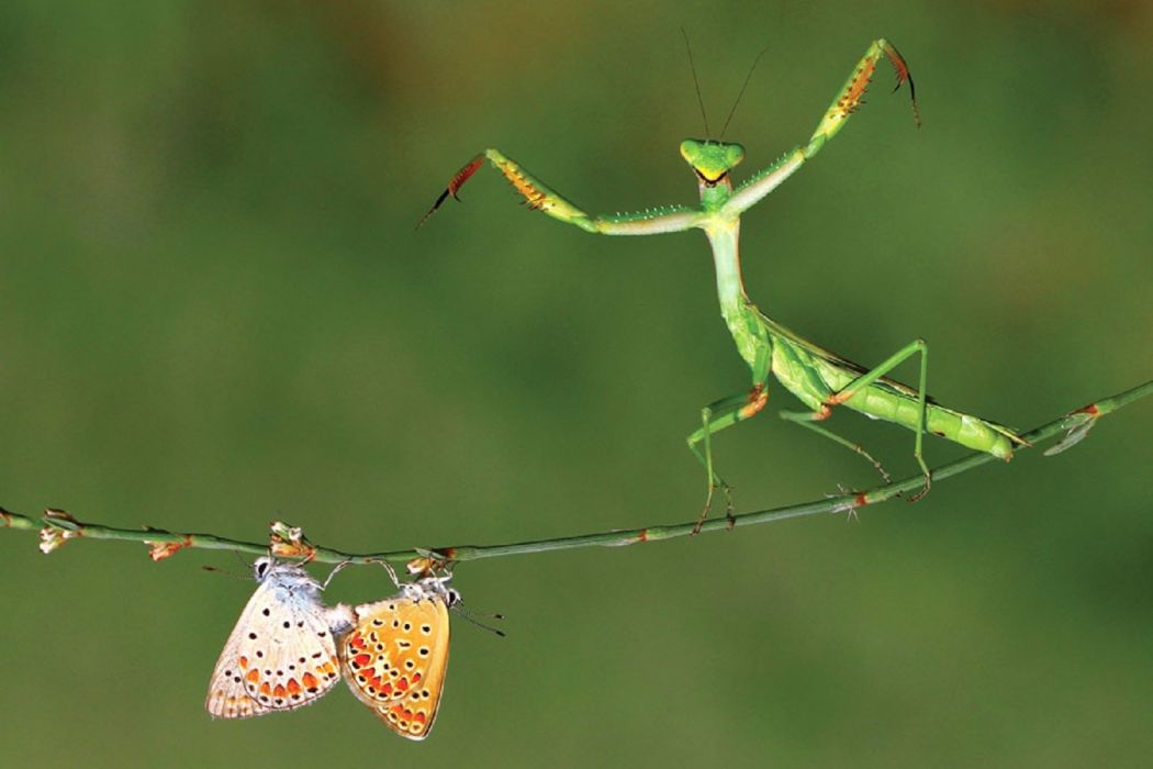 mante religieuse mantis insects nature wallpaper