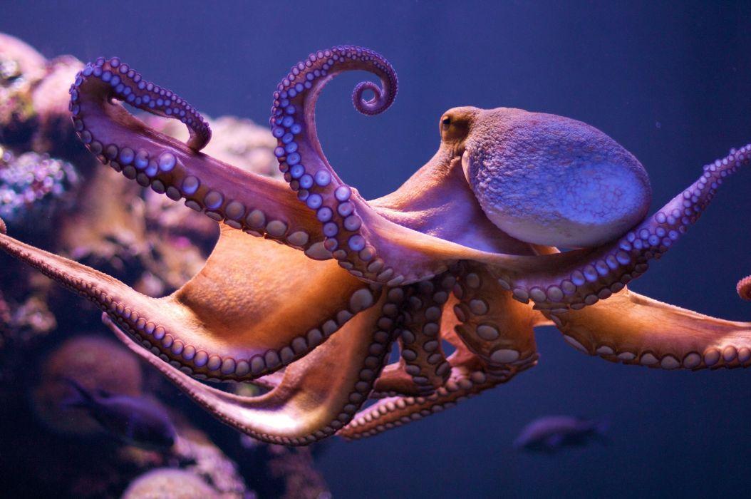 animales mar pulpo molusco wallpaper