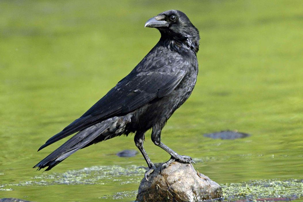 cuervo ave animales negro wallpaper