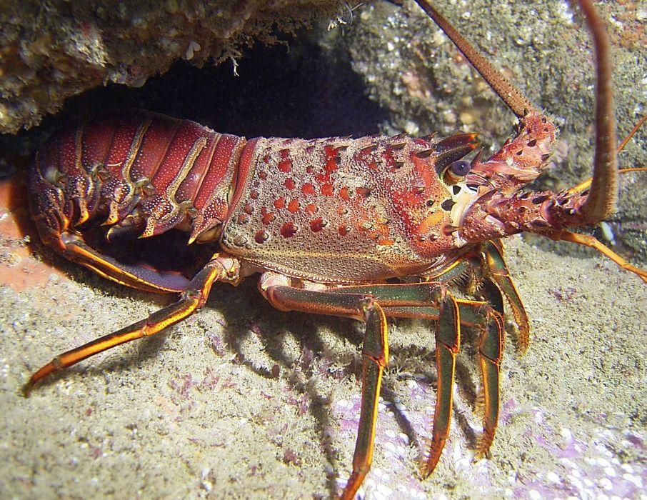 animales peces mar langosta wallpaper