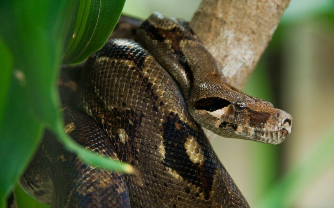 animales anaconda reptil arbol wallpaper