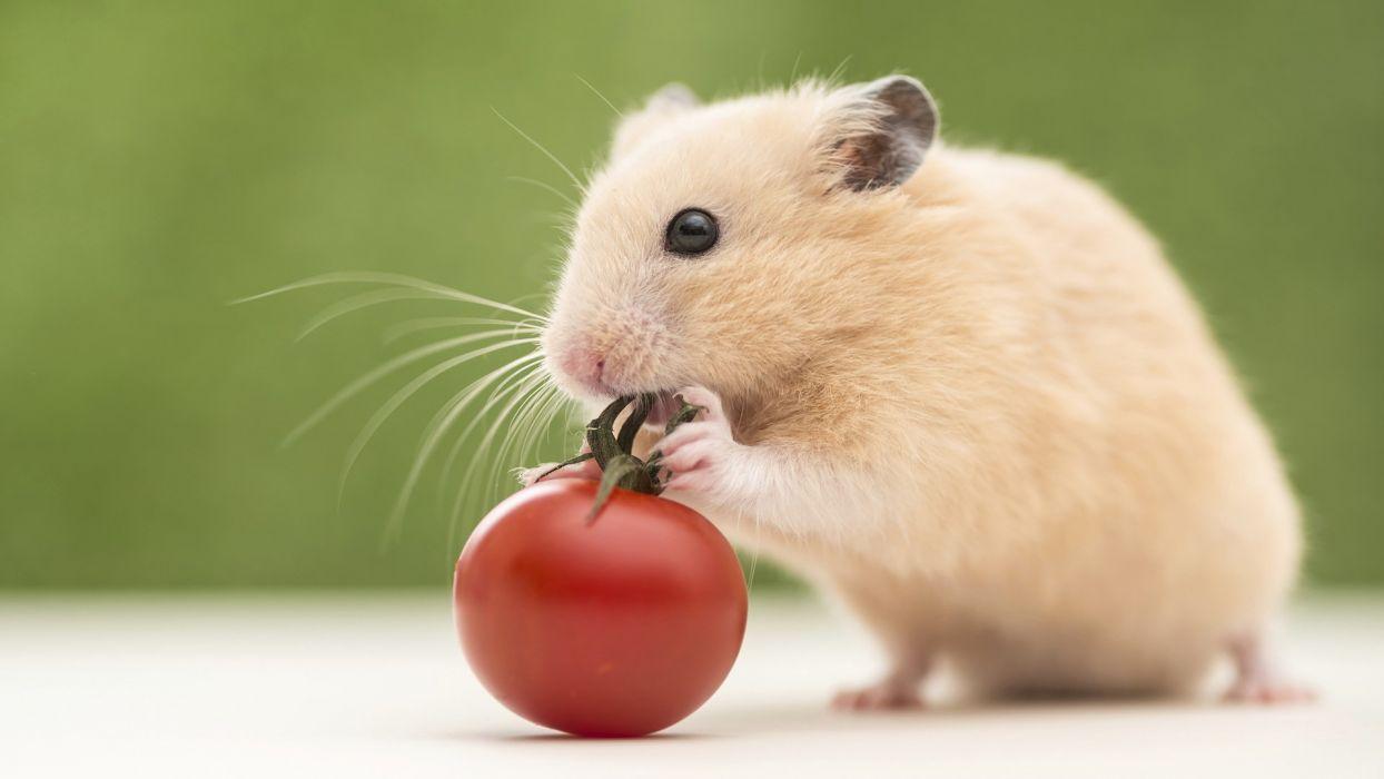 animales hamster roedor tomate wallpaper