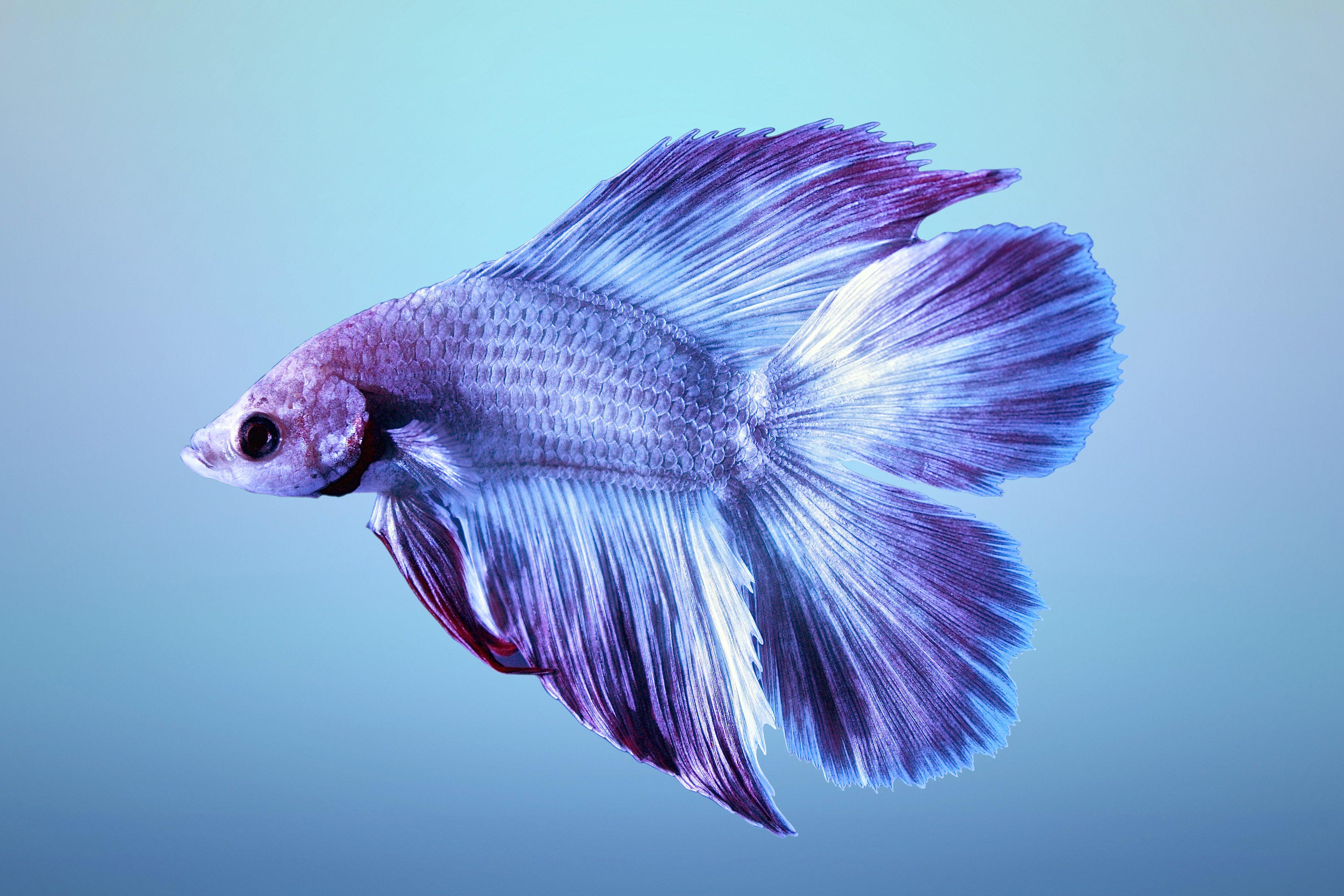 BETTA Siamese Fighting Fish underwater tropical ...