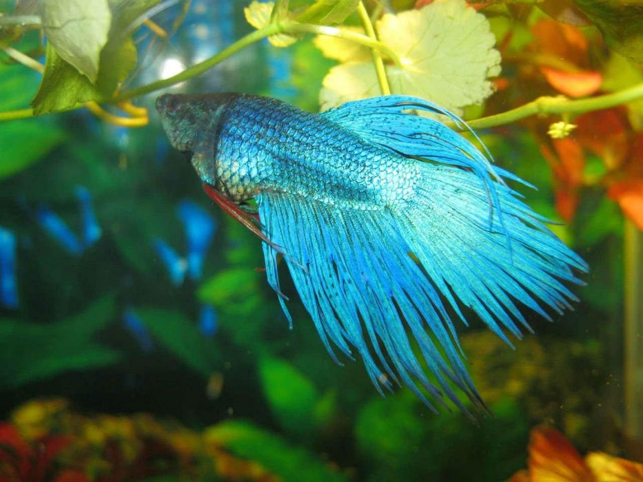 BETTA Siamese Fighting Fish underwater tropical psychedelic wallpaper