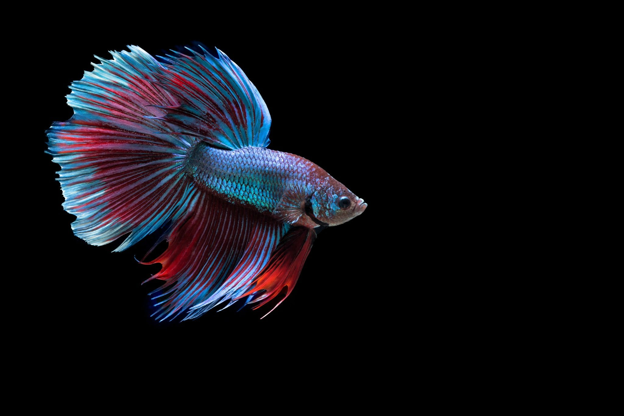 BETTA Siamese Fighting Fish underwater tropical ...